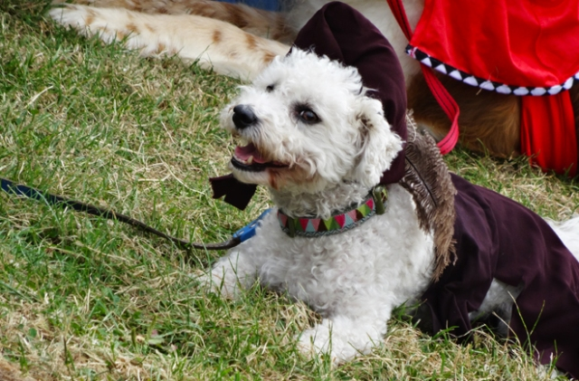 Dog dressed as a tudor.